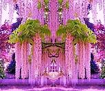 핑크아이스 위스테리아 특품♥유럽 직수입♥몽환적인 빛깔에 반하실 준비 됐나요?|