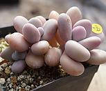 아메치스자연29|Graptopetalum amethystinum