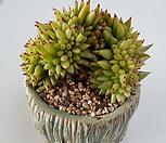 샤치철화21514|Echeveria agavoides f.cristata Echeveria