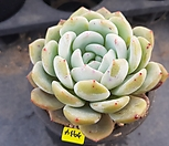 3934. 오렌지먼로|Echeveria Monroe(Orange)