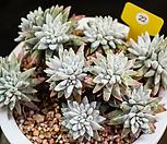 화이트그리니 22|Dudleya White gnoma(White greenii / White sprite)