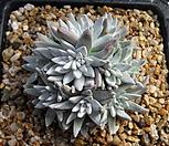 79화이트그리니10두0216|Dudleya White gnoma(White greenii / White sprite)