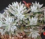 화이트그리니(자연군생)|Dudleya White gnoma(White greenii / White sprite)
