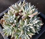 화이트그리니15두(59)|Dudleya White gnoma(White greenii / White sprite)
