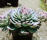 바이올렛퀸군생-88-자연|Echeveria Violet Queen