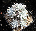화이트그리니0217|Dudleya White gnoma(White greenii / White sprite)