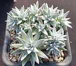 화이트그리니13두목대|Dudleya White gnoma(White greenii / White sprite)