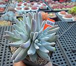 화이트그리니자연군생(분채배송)2-1030|Dudleya White gnoma(White greenii / White sprite)
