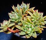 샤치철화60|Echeveria agavoides f.cristata Echeveria