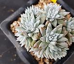 화이트그리니19두(145)|Pachyveria glauca