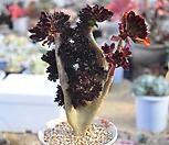 흑법사철화(A081) Aeonium arboreum var. atropurpureum