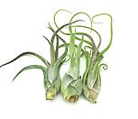 [어반플로라] 틸란드시아 카풋메두사 틸란시아/플랜테리어/공기정화식물/행잉플랜트/공중식물|Tillandsia