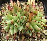 샤치철화89|Echeveria agavoides f.cristata Echeveria