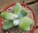 파키피덤 443 Dudleya pachyphytum