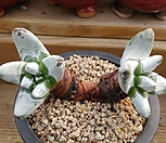 파키피덤 485 Dudleya pachyphytum