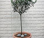 올리브나무(이태리토분완성품)-외목 토피어리|