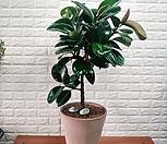 인도고무나무(이태리토분완성품/대품)외목|Ficus elastica