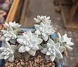 화이트그리니8두|Dudleya White gnoma(White greenii / White sprite)