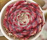 일본원종사라히메 Echeveria Sarahime