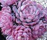 로이드|Echeveria minima hyb Roid