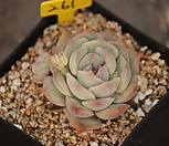 핑크팁스 2두|Echeveria Pink Tips