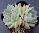 핑크팁스 군생 A6749|Echeveria Pink Tips
