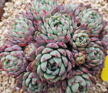 로이드자연군생|Echeveria minima hyb Roid