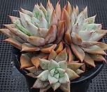 콜로라타브랜티hy Echeveria Colorata fma Brandtii