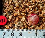 431 부르게리|Conophytum burgeri