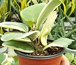 외목대 무늬하트호야(소품)|Hoya carnosa