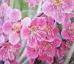 홍매화(홍설매)(1주) /은은한 향기와 매혹적인 꽃/정원수,조경수로 굿|Echeveria Multicalulis  Ginmei Tennyo
