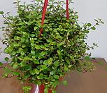 귀여운 트리안걸이(물방울처럼 예쁜 아이에요)|Muehlenbekia complexa