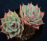 핑크팁스_m182|Echeveria Pink Tips