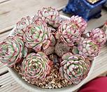 로이드목대|Echeveria minima hyb Roid