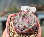핑크팁스22|Echeveria Pink Tips