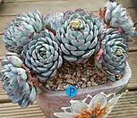 로이드 - 0311B00P|Echeveria minima hyb Roid