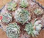 치와와금 모듬1|Eeveria chihuahuaensis