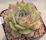 4995. 핑크팁스|Echeveria Pink Tips