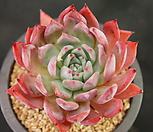 콜로라타 브랜티8C12-23 Echeveria Colorata fma Brandtii