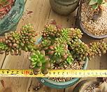 묵은 환엽송록철화(한몸/초특가)|Sedum lucidum Obesum