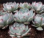 치와와금 7개|Eeveria chihuahuaensis