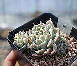 아이리스(휴밀리스교배종)한몸자연군생92|Echeveria hughmillus