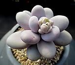 오비포럼 3-522|Pachyphytum oviferum