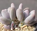 홍미인 자연군생 1-5903|Pachyphytum ovefeum cv. momobijin