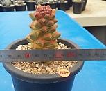 B-30. Monadenium ritchiei variegata 리치아이금|