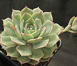핑크팁스 199967|Echeveria Pink Tips