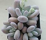 문스톤  자연군생210|Pachyphytum Oviferum Moon Stone