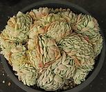 슈퍼 엘레강스철화170|Echeveria elegans