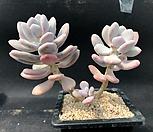 홍미인(220)|Pachyphytum ovefeum cv. momobijin