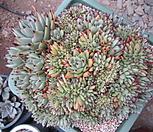 깨알샤찌철화특대품(특가)|Echeveria agavoides f.cristata Echeveria